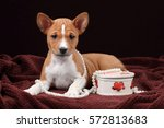 cute puppy basenji with beads... | Shutterstock . vector #572813683