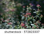 Small photo of Shrub Spiraea japonica Bullata