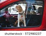 Beagle Dog Waiting On Driver's...