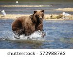 alaskan brown bear  grizzly...   Shutterstock . vector #572988763