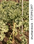 Small photo of Home Grown Organic Broccoli 'Claret' (Brassica oleracea) on an Allotment in a Vegetable garden in Rural Devon, England, UK