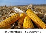 ripe corn cob on field | Shutterstock . vector #573009943