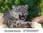 closeup of a snow leopard... | Shutterstock . vector #573033097