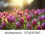 pink tulips flower blooming... | Shutterstock . vector #573157567