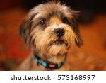 Cute Little Terrier Dog Wearin...