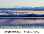 A flock of geese take off during dusk from the Fern Ridge Reservoir in the Willamette Valley of Oregon
