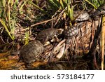 Small photo of Pacific pond turtles known as Actinemys marmorata sun themselves on a rock in the middle of a pond