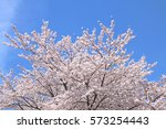 cherry blossoms blooming in... | Shutterstock . vector #573254443