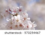 cherry blossoms blooming in... | Shutterstock . vector #573254467