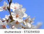 cherry blossoms blooming in... | Shutterstock . vector #573254503