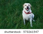 The Dog Breed Labrador On A...