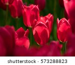 red tulip   Shutterstock . vector #573288823