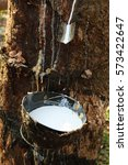 Small photo of Milk latex from rubber tree in a bowl at the rubber plantation of agriculturist in Kerala, India.