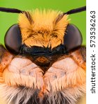 Small photo of Extreme magnification - Solitaire Bee, Megachilidae