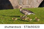 Goose With Four Goslings On...