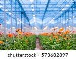 many orange gerbera flowers in... | Shutterstock . vector #573682897