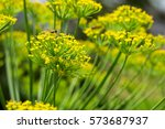 Yellow Flowers Of Dill And Bee...