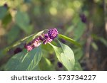 Small photo of Close up of American beautyberry, also known as French mulberry, sourbush, bunchberry and purple beauty-berry