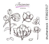 jasmine. vector collection in... | Shutterstock .eps vector #573822517