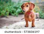 Stock photo dachshund dog 573836197