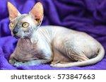 sphynx female cat | Shutterstock . vector #573847663