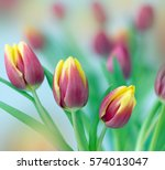 Tulips In Flower Spring...