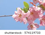 flowering crab apple in japan. | Shutterstock . vector #574119733