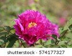 paeonia suffruticosa in japan. | Shutterstock . vector #574177327