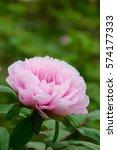 paeonia suffruticosa in japan. | Shutterstock . vector #574177333