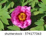 paeonia suffruticosa in japan. | Shutterstock . vector #574177363
