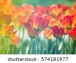 Tulips. A Bulbous Spring...