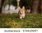 Dog Corgi Puppy Running Throug...
