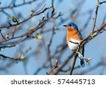The Male Eastern Bluebird.  Th...