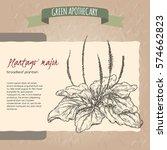 plantago major aka broadleaf... | Shutterstock .eps vector #574662823
