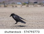 Small photo of Habituated raven resting after feeding