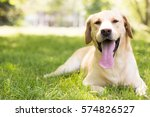Smiling Labrador Dog