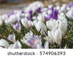 Crocus Flower Heads. Pretty...