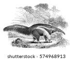 anteater  vintage engraved... | Shutterstock . vector #574968913
