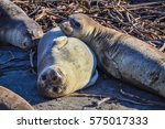 Two Young Elephant Seals In Sa...