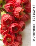 Small photo of Beautiful red flowers of mallow plant (ABUTILON).