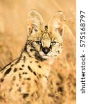 Serval Cat Portrait   A Sub...