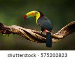 keel billed toucan  ramphastos... | Shutterstock . vector #575202823