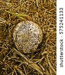 Small photo of Meadow mushroom, Agaricus campestris