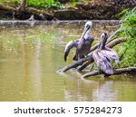 Two Gray Pelicans Sitting On...