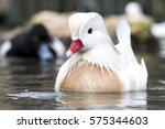 Small photo of Albino male mandarin duck (Aix galericulata).