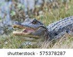 American Alligator In Cameron...