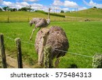 Ostrich At The Ostrich Farm Ne...