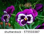 Viola Tricolor Large Purple...