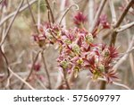 Small photo of Sambucus racemosa is a species of elderberry known by the common names red elderberry and red-berried elder (Adoxaceae Family). Blossoming buds of red elderberries in spring. Spring natural background