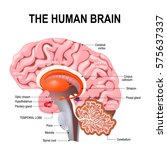 detailed anatomy of the human... | Shutterstock .eps vector #575637337